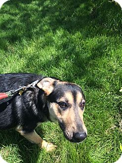 German Shepherd Dog Mix Dog for adoption in Zanesville, Ohio - Lainey