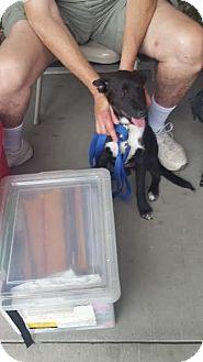 Labrador Retriever Mix Puppy for adoption in waterbury, Connecticut - Felix