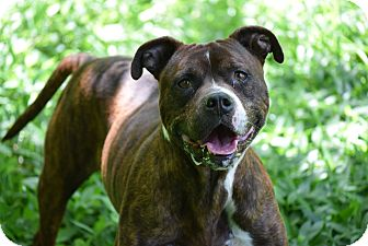 English Bulldog/Boxer Mix Dog for adoption in Petersburg, Virginia - Dover