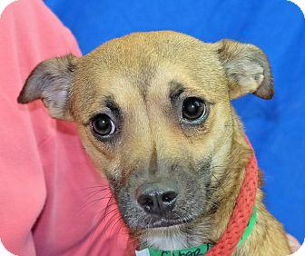 Whippet Mix Dog for adoption in Spokane, Washington - Charlene