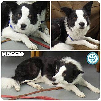 Border Collie Mix Dog for adoption in Kimberton, Pennsylvania - Maggie