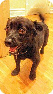Pomeranian Mix Dog for adoption in Nashville, Tennessee - Hemingway