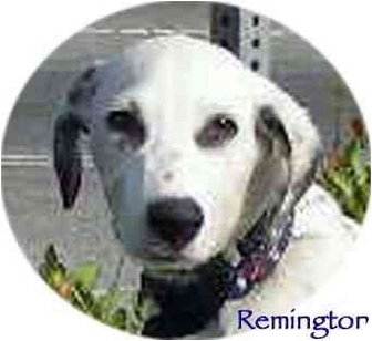 Dalmatian Puppy for adoption in Mandeville Canyon, California - Remington