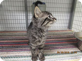 Domestic Longhair Kitten for adoption in BLACKWELL, Oklahoma - Bailey
