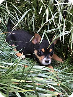 Feist/Beagle Mix Puppy for adoption in Allentown, Pennsylvania - Colt  (ETAA)
