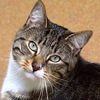 Domestic Shorthair Cat for adoption in Norwalk, Connecticut - Mork
