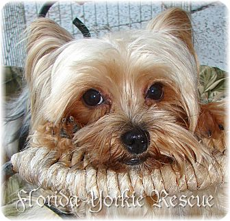 Yorkie, Yorkshire Terrier Dog for adoption in Palm City, Florida - Annie