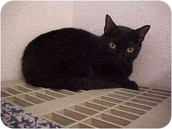 Domestic Shorthair Cat for adoption in El Cajon, California - Regan