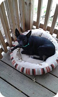 Italian Greyhound Mix Dog for adoption in Alliance, Nebraska - Mickey