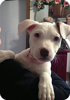 Terrier (Unknown Type, Medium) Mix Puppy for adoption in Huntley, Illinois - Lilly