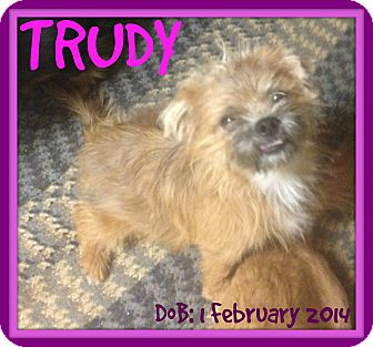 Cairn Terrier/Terrier (Unknown Type, Small) Mix Dog for adoption in Allentown, Pennsylvania - TRUDY