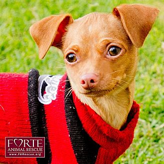 Chihuahua Mix Dog for adoption in Marina del Rey, California - Prancer