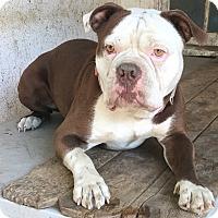 Adopt A Pet :: Aries - Van Nuys, CA