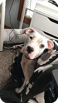 Pit Bull Terrier Mix Puppy for adoption in Manhattan, Kansas - Winter
