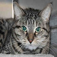Domestic Mediumhair Cat for adoption in Chicago Ridge, Illinois - ASIA