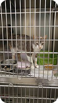 Domestic Shorthair Cat for adoption in Colonial Heights, Virginia - Selma