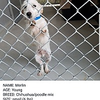 Adopt A Pet :: merlin - springtown, TX