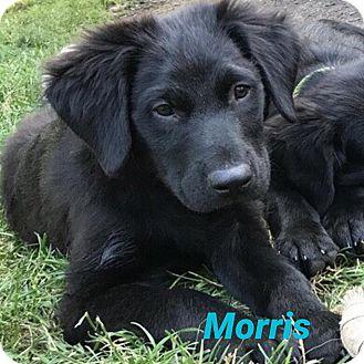 Labrador Retriever/Flat-Coated Retriever Mix Puppy for adoption in South Elgin, Illinois - Morris