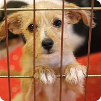 Standard Schnauzer/Cairn Terrier Mix Puppy for adoption in Phoenix, Arizona - Princess