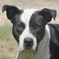 Adopt A Pet :: Blitzen - Bastrop, TX