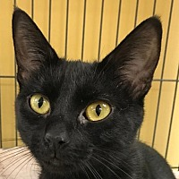Adopt A Pet :: Shadow II - Auburn, CA