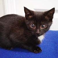 Adopt A Pet :: Kit - N. Billerica, MA