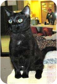 Domestic Shorthair Cat for adoption in Jackson, Michigan - Camille