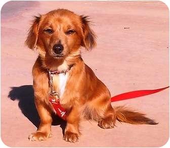 Dachshund Dog for adoption in El Cajon, California - Birdie