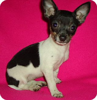 Chihuahua Mix Puppy for adoption in Londonderry, New Hampshire - Macy