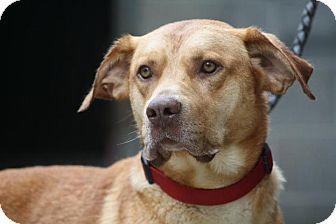 Labrador Retriever Mix Dog for adoption in Anderson, Indiana - Jethro