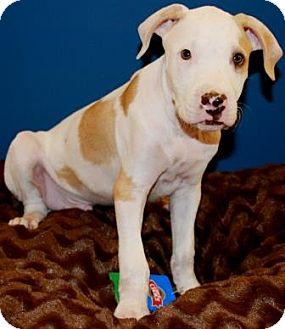 American Staffordshire Terrier Mix Puppy for adoption in Gilbert, Arizona - Prentis