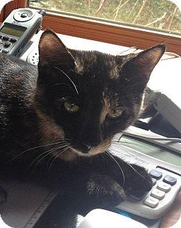 Domestic Shorthair Cat for adoption in Horsham, Pennsylvania - Tori