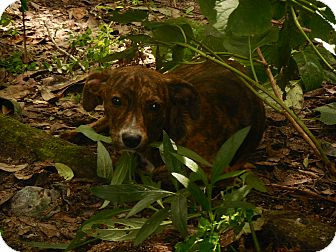 Plott Hound Puppy for adoption in Old Town, Florida - Spice