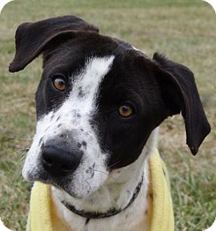 Pointer Mix Dog for adoption in Parma, Ohio - Gwen