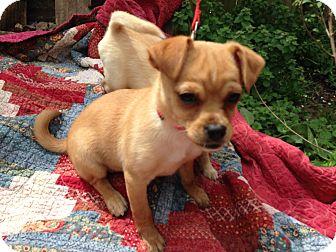 Chihuahua/Feist Mix Puppy for adoption in Reynoldsburg, Ohio - RUBY