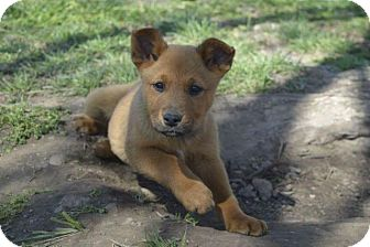 Cattle Dog/Labrador Retriever Mix Puppy for adoption in Miami, Oklahoma - Willie