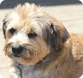 Wheaten Terrier Mix Dog for adoption in Norwalk, Connecticut - Heathrow