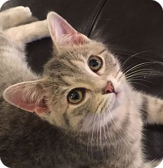 Domestic Shorthair Kitten for adoption in Huntsville, Alabama - Grayson