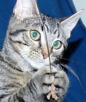 Domestic Shorthair Cat for adoption in Mt. Vernon, New York - Pebbles