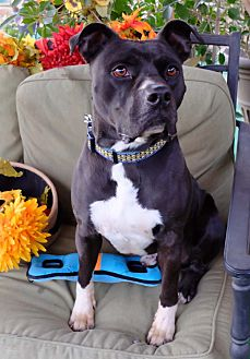 American Staffordshire Terrier Mix Dog for adoption in Toluca Lake, California - Trevor
