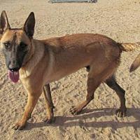 Adopt A Pet :: Uno - San Tan Valley, AZ