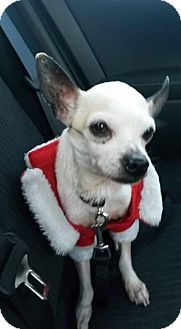 Chihuahua Dog for adoption in Oakland, Florida - Mr. T