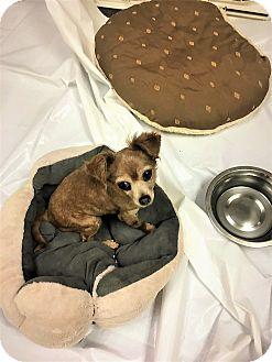 Chihuahua Dog for adoption in Tavares, Florida - Wanda