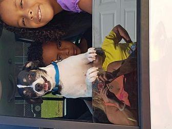Rat Terrier Dog for adoption in Decatur, Alabama - Willie