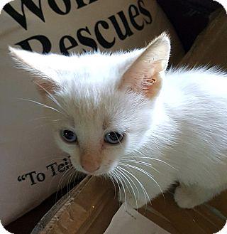 Domestic Shorthair Kitten for adoption in Anaheim Hills, California - Alaska