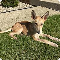 Adopt A Pet :: Akita - Racine, WI