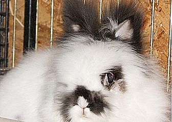 Lionhead Mix for adoption in Portland, Maine - Timmee