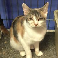 Bengal/Domestic Shorthair Mix Cat for adoption in Salem, Ohio - Winky