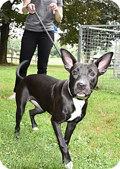 Labrador Retriever/American Pit Bull Terrier Mix Puppy for adoption in Southbury, Connecticut - Corona ~ meet me!