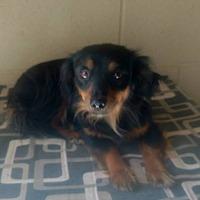 Adopt A Pet :: GINA - Lubbock, TX